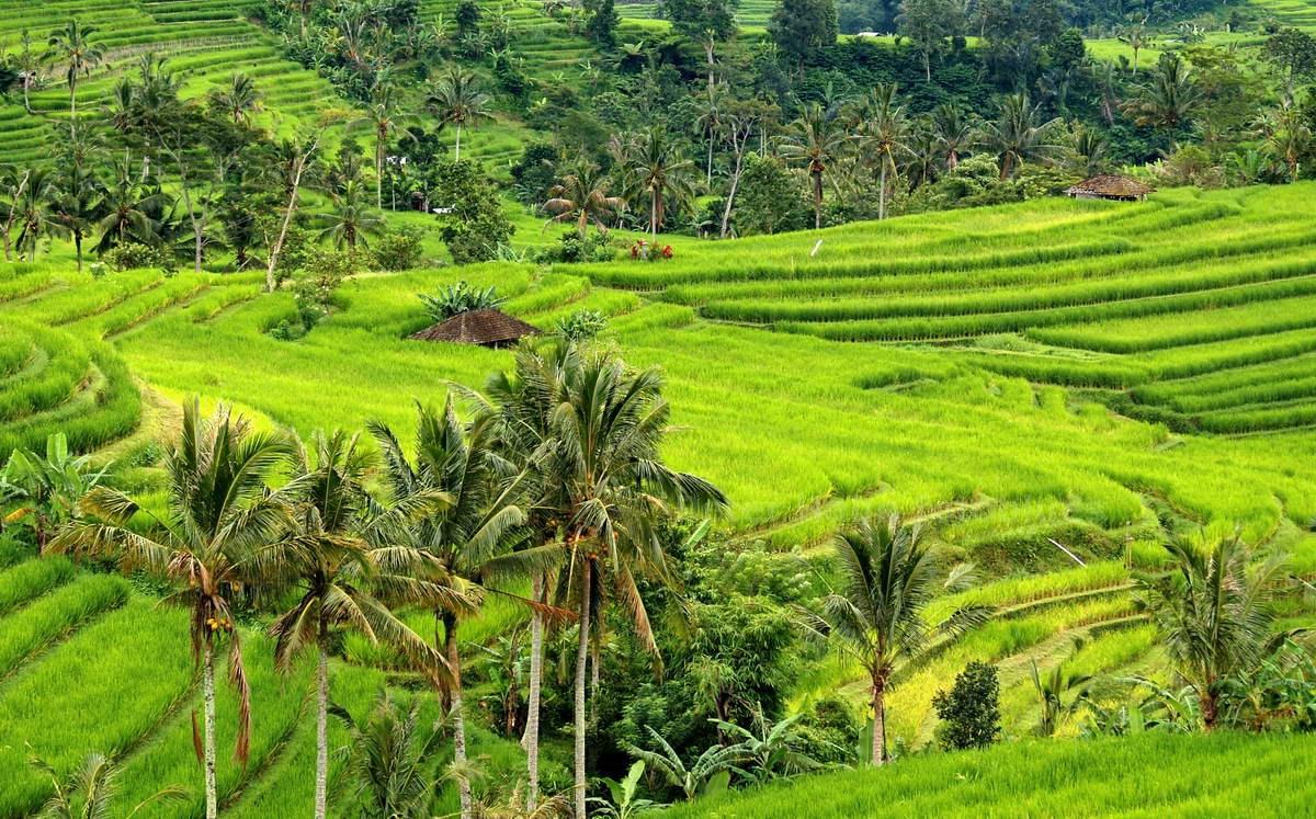 REISTERRASSEN - JATILUWIH - BALI - INDONESIEN-INDONESIA