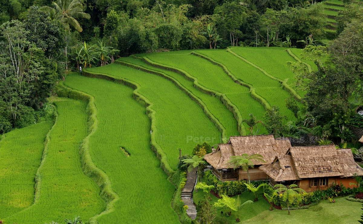 REISFELDER - PACUNG - BALI - INDONESIEN-INDONESIA