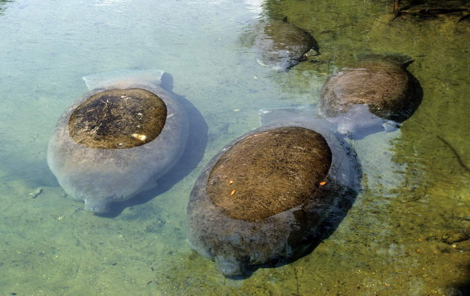 HOMOSASSA - FLORIDA-USA - MANATEES