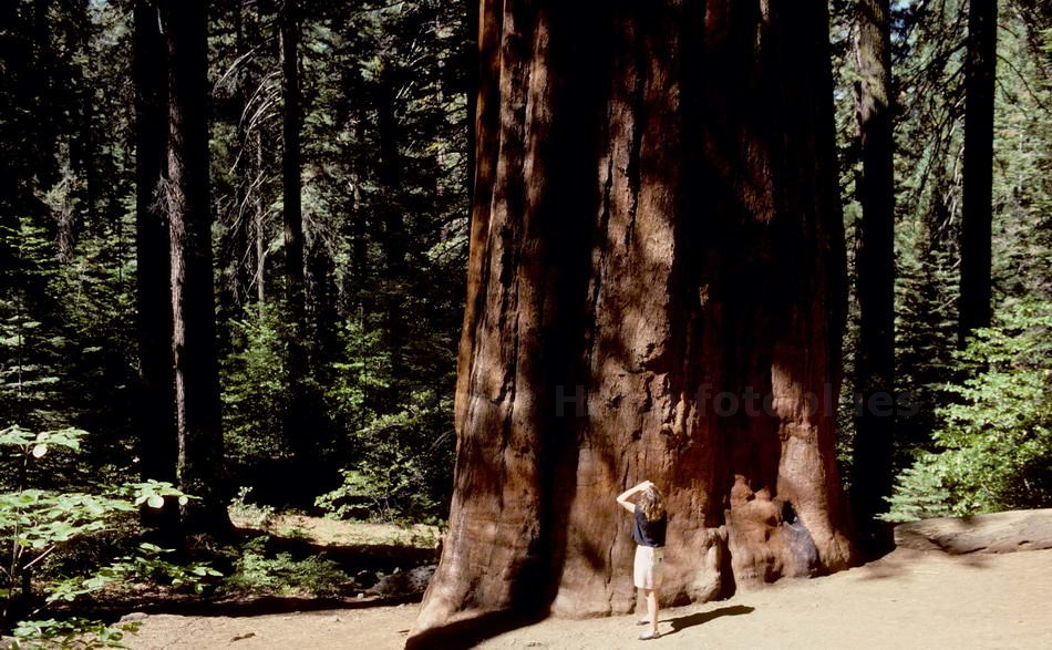 YOSEMITE N.P.- CALIFORNIA-USA - TUOLUMNE GROVE GIANT SEQUOIA